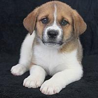 Adopt A Pet :: Muffin - Wichita, KS