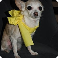 Chihuahua Mix Dog for adoption in Hamilton, Ontario - Lola