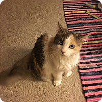 Maine Coon Cat for adoption in Xenia, Ohio - Lucky *COURTESY POSTING