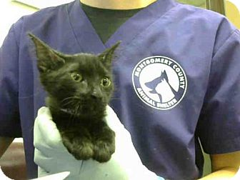 Domestic Mediumhair Kitten for adoption in Conroe, Texas - A289873
