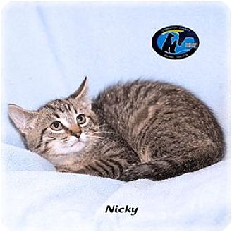 Domestic Shorthair Kitten for adoption in Howell, Michigan - Nicky