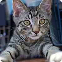 Adopt A Pet :: Gallardo ~ lap kitten - Troy, MI