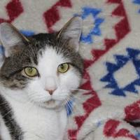Domestic Shorthair/Domestic Shorthair Mix Cat for adoption in Danville, Illinois - Tony