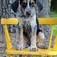 Adopt A Pet :: Zebra - Waldorf, MD
