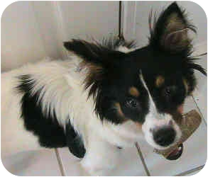 Jack Russell Terrier Mix Dog for adoption in Greensboro, North Carolina - Alli