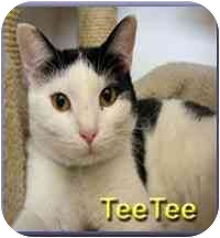 Domestic Shorthair Cat for adoption in Aldie, Virginia - TeeTee