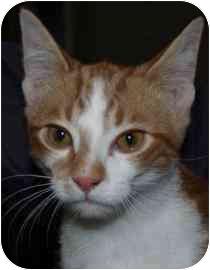 Domestic Mediumhair Kitten for adoption in Walker, Michigan - Doc Hudson