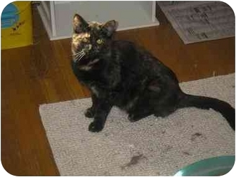 Domestic Shorthair Cat for adoption in Cheektowaga, New York - Misty