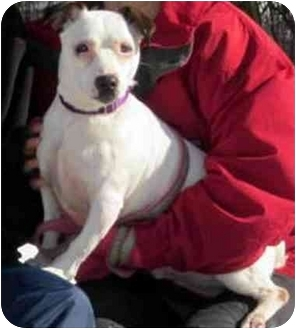 Jack Russell Terrier Mix Dog for adoption in Rhinebeck, New York - Jack 4(Julio)