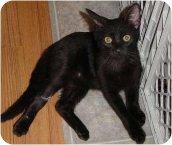Domestic Shorthair Kitten for adoption in DeKalb, Illinois - Vance