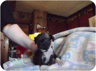 Boxer/Doberman Pinscher Mix Puppy for adoption in Edon, Ohio - Tori