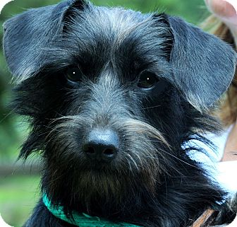 """Yorkie, Yorkshire Terrier/Poodle (Toy or Tea Cup) Mix Dog for adoption in Wakefield, Rhode Island - CALLIE(ADORABLE """"TINY"""" GIRL!!"""