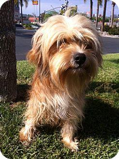 Wheaten Terrier Mix Dog for adoption in El Cajon, California - BENJI