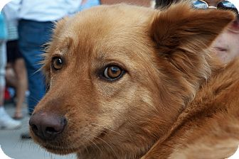 Golden Retriever/Collie Mix Dog for adoption in Richmond, Virginia - Dali
