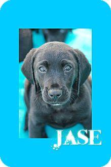 Labrador Retriever/Basset Hound Mix Puppy for adoption in East Hartford, Connecticut - Jase adoption pending