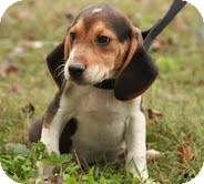 Beagle Puppy for adoption in Hagerstown, Maryland - Percy