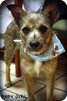 Australian Cattle Dog/Border Collie Mix Dog for adoption in Brattleboro, Vermont - Baby Girl