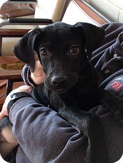 Labrador Retriever Mix Puppy for adoption in Newark, Delaware - Dee/Elsie