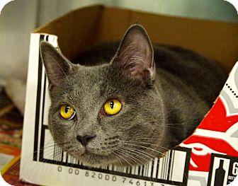 Domestic Shorthair Cat for adoption in Daytona Beach, Florida - Sebastian