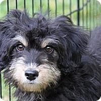 Adopt A Pet :: Gucci - Louisville, KY