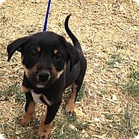 Adopt A Pet :: Spencer - Westminster, CO