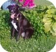 Labrador Retriever/Border Collie Mix Dog for adoption in Palatine, Illinois - Bella