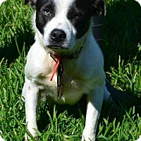 Adopt A Pet :: BOOMER - Sugar Land, TX