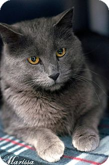 Russian Blue Cat for adoption in Manahawkin, New Jersey - Marissa