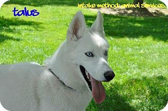 Siberian Husky Mix Dog for adoption in Hamilton, Ontario - Talus