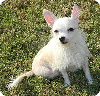 Chihuahua/Jack Russell Terrier Mix Dog for adoption in Umatilla, Florida - Alice