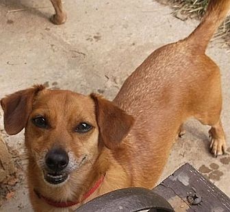 Dachshund/Chihuahua Mix Dog for adoption in Georgetown, Kentucky - ZACHARY