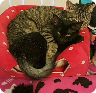 Domestic Shorthair Cat for adoption in Mansfield, Texas - Bella