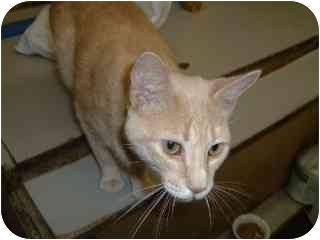 Domestic Shorthair Cat for adoption in Pickering, Ontario - Apple