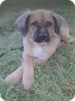 Boxer/Collie Mix Dog for adoption in Staunton, Virginia - Luki