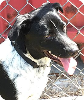 Australian Cattle Dog/Border Collie Mix Puppy for adoption in Watauga, Texas - Canyon