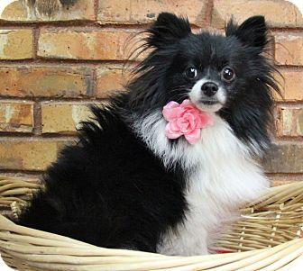 Pomeranian Dog for adoption in Benbrook, Texas - Kali