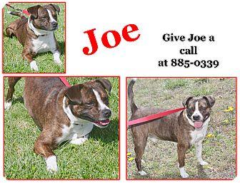 Boston Terrier/Mixed Breed (Medium) Mix Dog for adoption in Cuba, Missouri - Joe