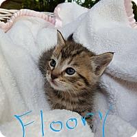 Domestic Shorthair Kitten for adoption in Overland Park, Kansas - Floory