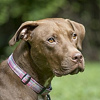 Pointer/Pit Bull Terrier Mix Dog for adoption in Durham, North Carolina - Tachi