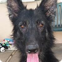 Adopt A Pet :: Ophelia - Canoga Park, CA