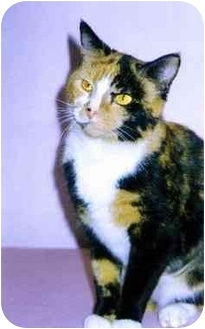 Domestic Shorthair Cat for adoption in Medway, Massachusetts - Angie