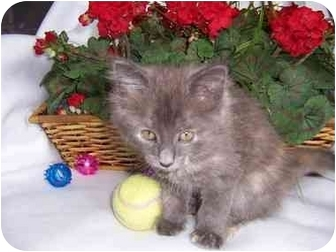 Maine Coon Kitten for adoption in Taylor Mill, Kentucky - Gabrielle