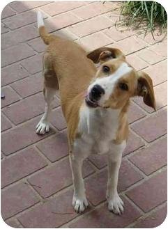 Beagle Mix Puppy for adoption in Columbus, Nebraska - Nina