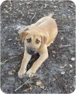 Bullmastiff/Shepherd (Unknown Type) Mix Puppy for adoption in Brooksville, Florida - ZEUS