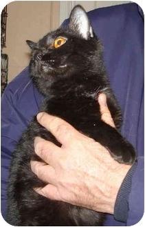 Domestic Shorthair Cat for adoption in Leoti, Kansas - Pumpkin