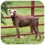 Photo 2 - Doberman Pinscher Dog for adoption in Greensboro, North Carolina - Tulip