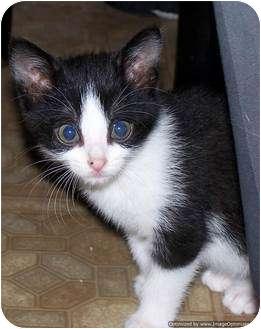 Domestic Shorthair Kitten for adoption in Morden, Manitoba - Kobe