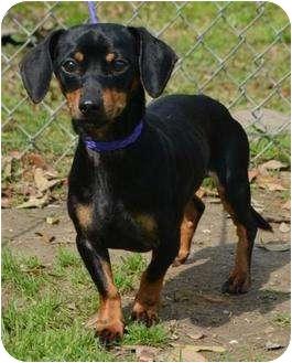 Dachshund/Chihuahua Mix Dog for adoption in Houston, Texas - Jake
