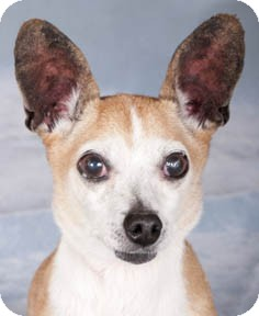 Chihuahua Mix Dog for adoption in Chicago, Illinois - Pal