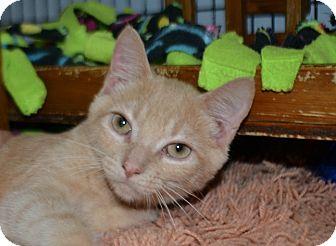 Domestic Shorthair Kitten for adoption in Edwardsville, Illinois - Pax
